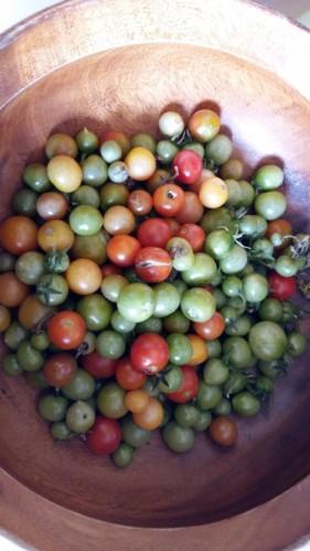 Pomodori verdi del terrazzo